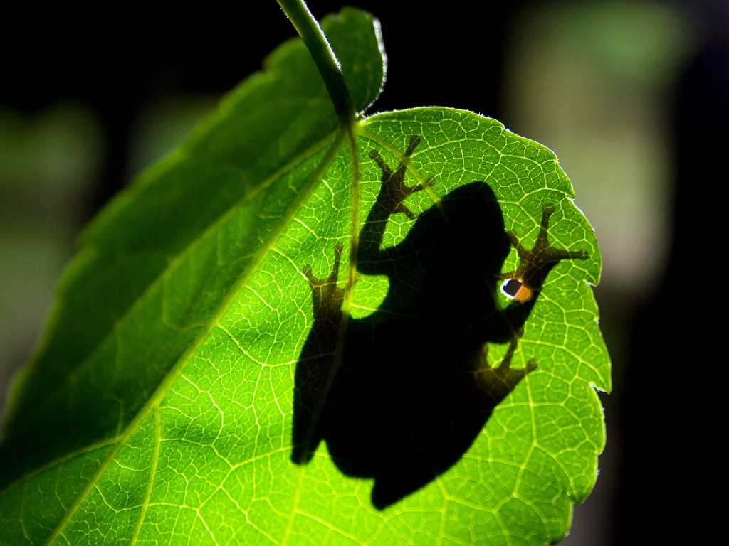 Underside shot looking up through leaf to silhouette of tree frog. Tree frogs distinctive disc-shaped toes give its feet more suction and therefore better grip when moving around in the trees. (Photo Credit: © Earth Touch Ltd.)
