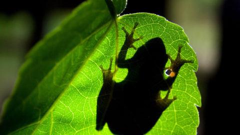 Bolje gume zahvaljujući žabama?